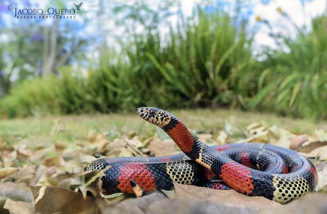Falsa coral ecuatoriana/ Ecuadorian milk snake (Lampropeltis micropholis)