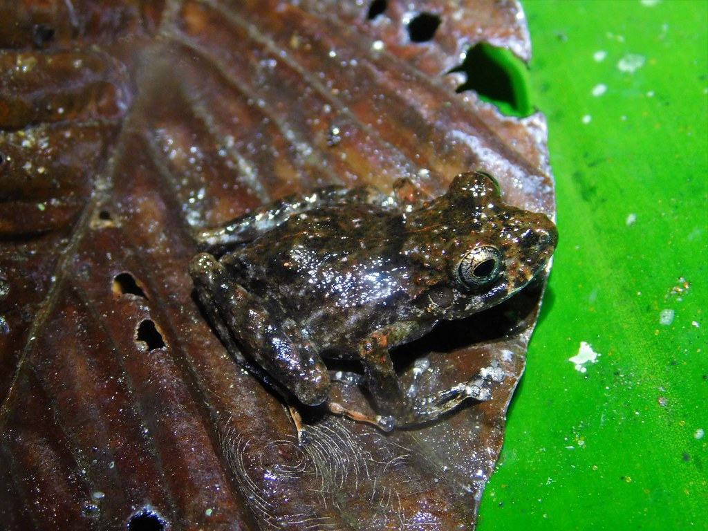 Xucaneb Robber Frog