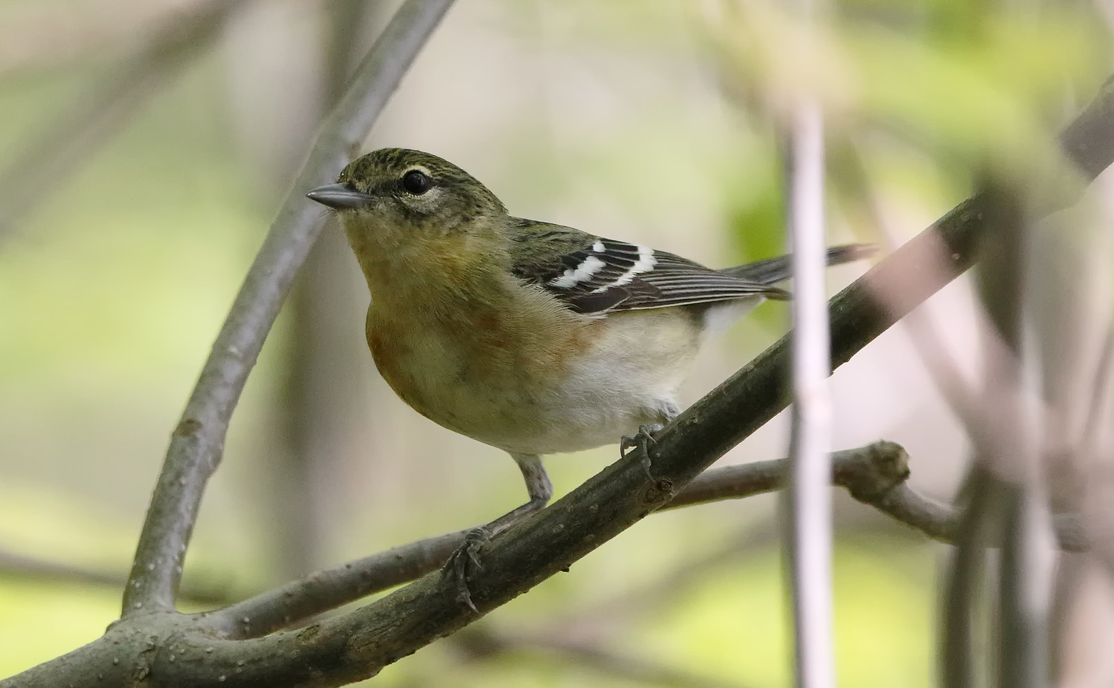 Bay-breasted Warbler [female]