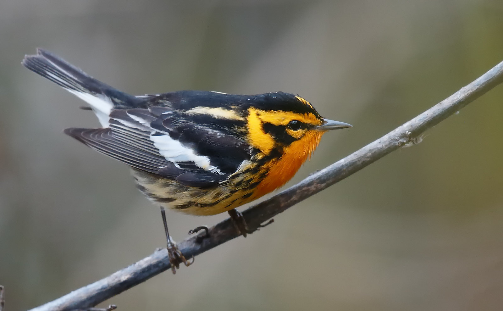 Blackburnian Warbler [male]