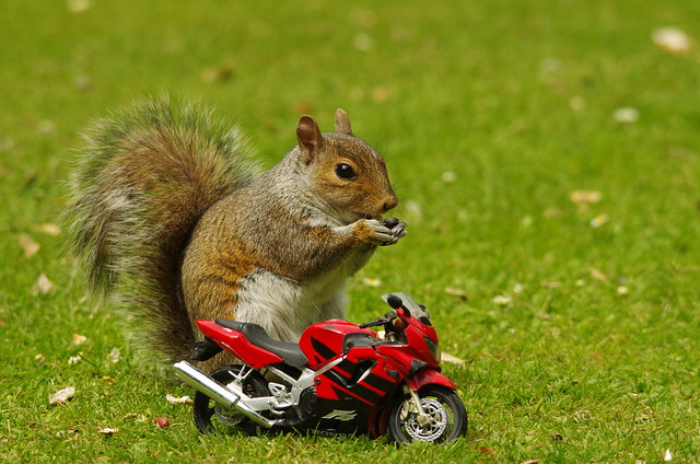 Grey squirrel with motorcycle (11)