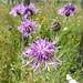Flickr photo 'Wiesen-Flockenblume' by: Gertrud K..