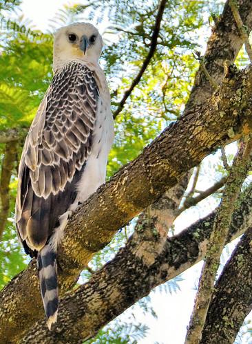 juvenile bird eagle kzn southafrica