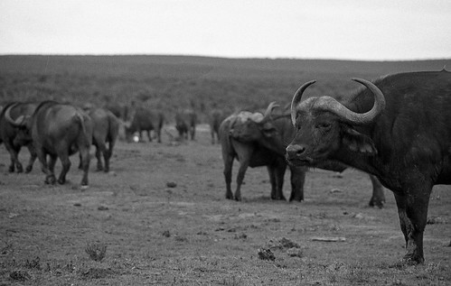 Buffalo   by TAZMPictures