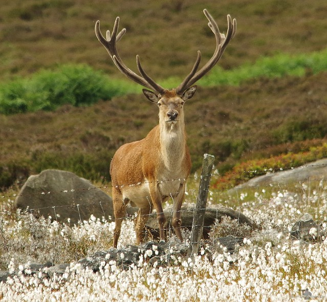 red deer stag peak district in cotton grass 7 july 2018 (7)