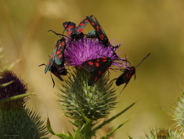 five-spot burnet moths lots  (5)
