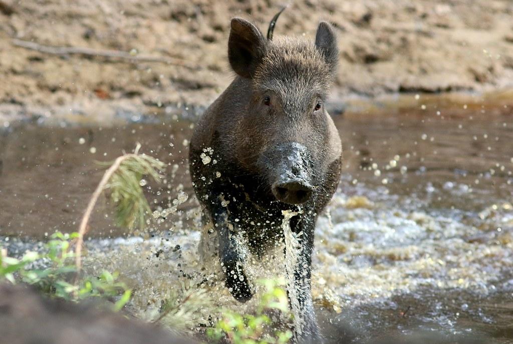 Wildschwein Attacke