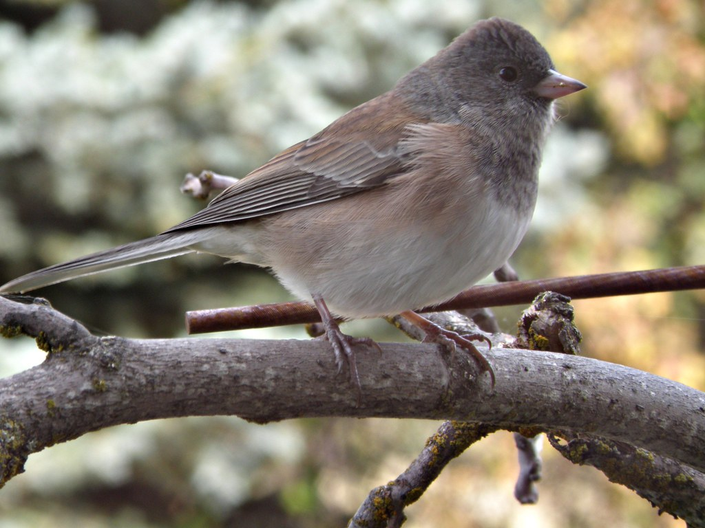 PA122783 dark-eyed junco, oregon