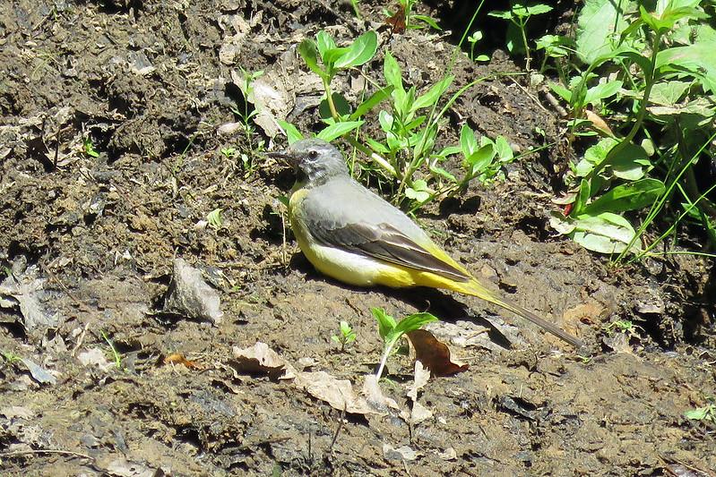 Grey Wagtail - Motacilla cinerea