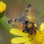 Männliche Goldschildfliege (Phasia aurigera)
