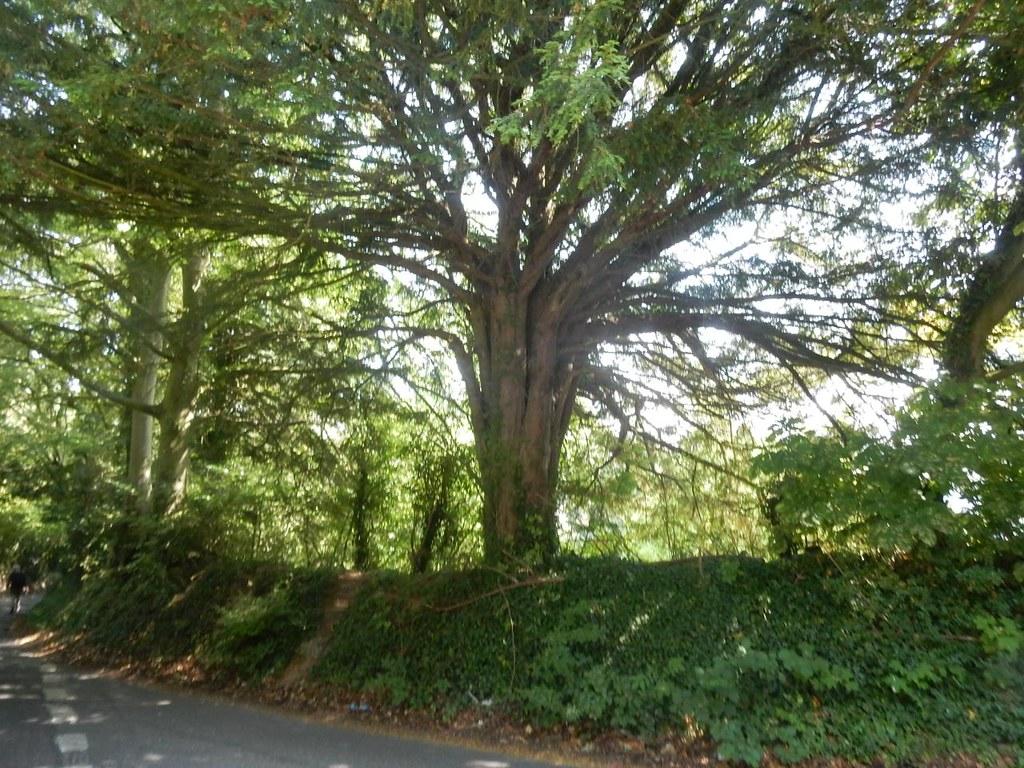 Big tree Shoreham figure of 8