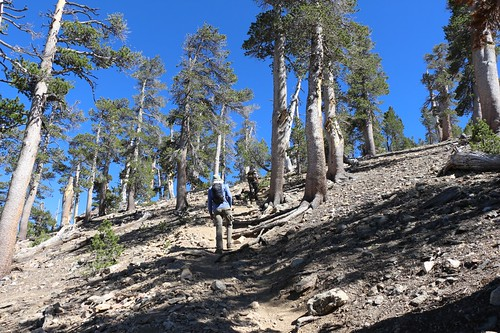 193 The final extra-steep use trail up to the summit of San Bernardino Peak - this part whupped us | by _JFR_