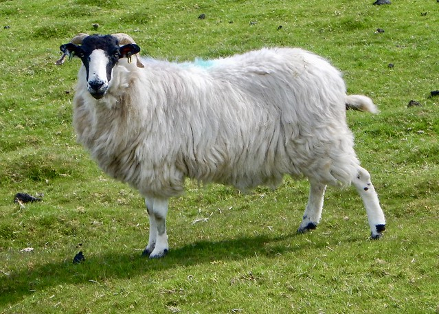 Rough Fell Ewe