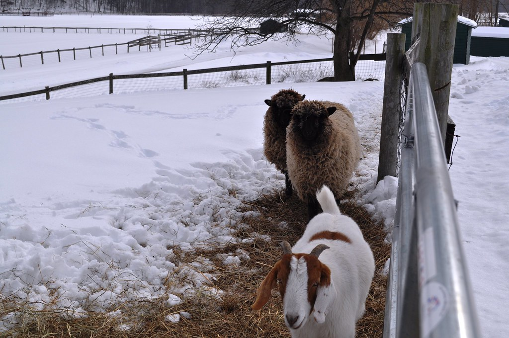 The Three Musketeers- Catskill Animal Sanctuary | Cupid the … | Flickr