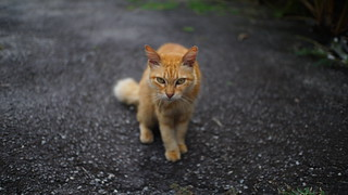stray cat | sooc jpeg sony a6000 | 7 artisans 25mm f1.8 | by azfar ahmad | thepatahtumbuh