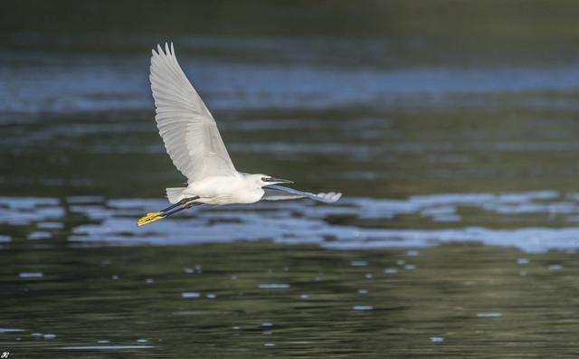 Little Egret, Attenborough Nature Reserve.