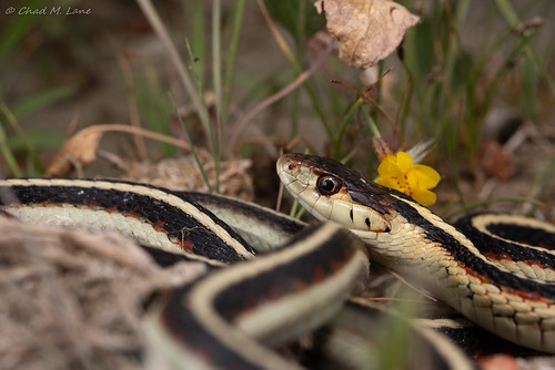 Valley Gartersnake (Thamnophis sirtalis fitchi) | by Chad M. Lane