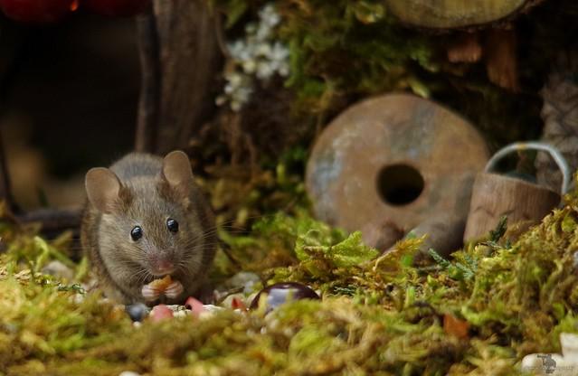 garden house mouse (10)