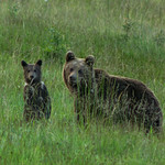 Bear sow with cub