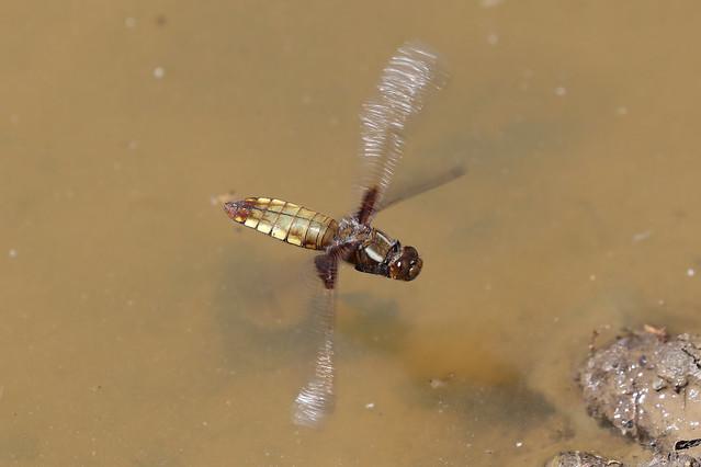 Broad-bodied Chaser ♀ Libellula depressa