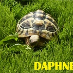 1daphne