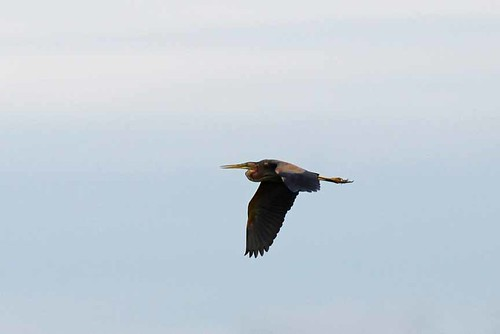 Purple Heron  (Ardea purpurea) | by Brian Carruthers-Dublin-Eire