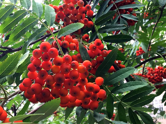 Scarlet clusters of mountain ash