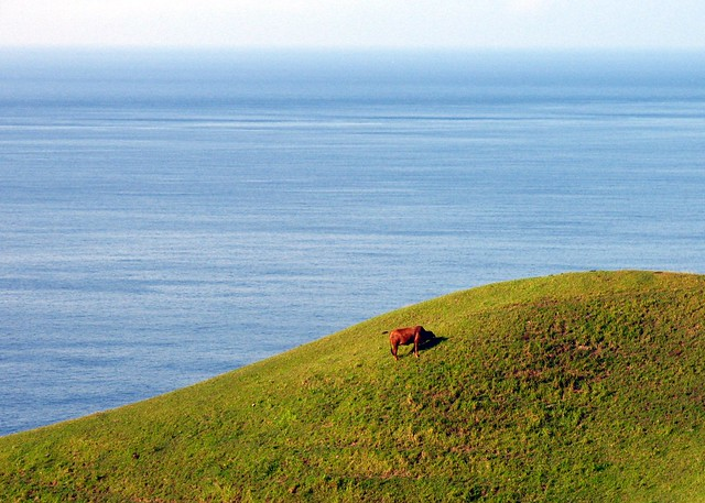 batanes - grazing cow