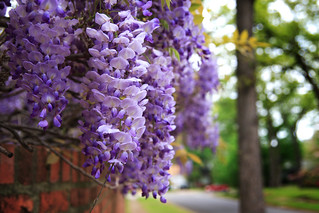 Wisteria Bunch | by longhorndave