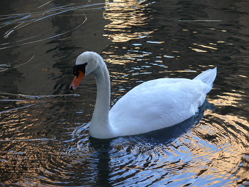Swan at Palace of Fine Arts | by funcrunch