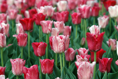 April Tulips at the Country Club Plaza | by Mike Willis