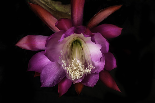 Pink Red And White Epiphyllum Flower | by Bill Gracey 23 Million Views