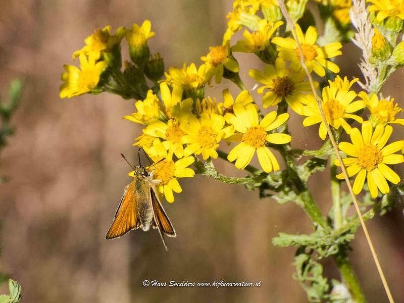 Zwartsprietdikkopje (Thymelicus lineola)-818_5044