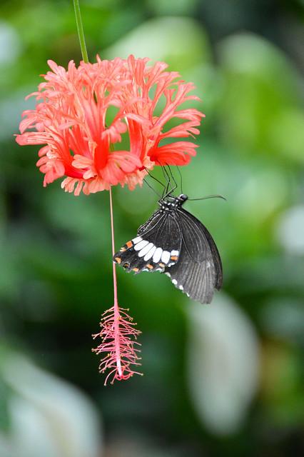 Japanese Lantern Flower (Hibiscus schizopetalus) & Common Mormon Butterfly (Papilio polytes)