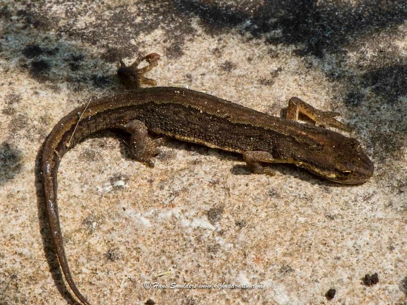 Kleine watersalamander (Lissotriton vulgaris)-818_5170