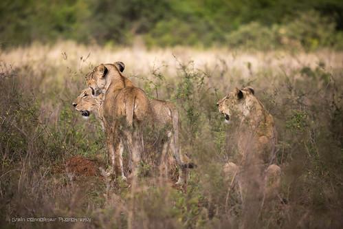 2017 africa kenya lion nairobi nairobicounty ke gidzinski gidzinska grainconnoisseur