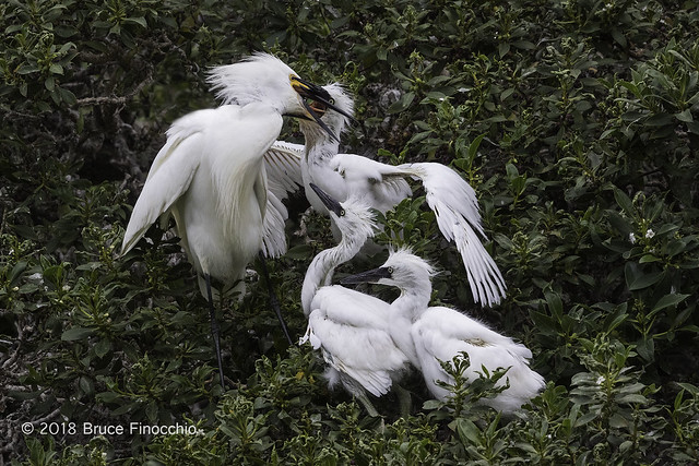 Snowy Egret Parent Feeds One Of Its Three Chicks As The Others Watch