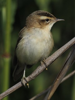 Sedge Warbler Woodwalton Fen