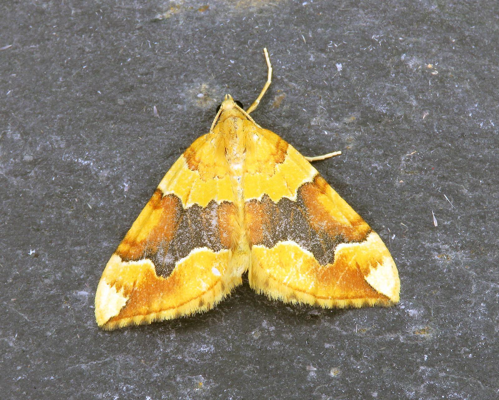 70.085 Barred Yellow - Cidaria fulvata