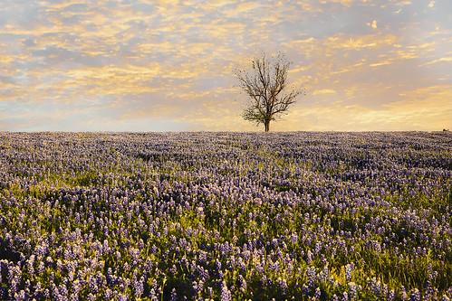 texas chappellhill brenham washingtoncounty wildflower bluebonnets lupinustexensis bloom us290 texaslupine spring flower lupine endemic blue tree field wyojones np
