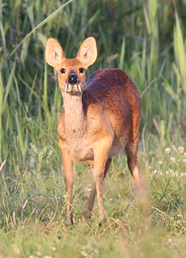 About >> male chinese water deer showing his fangs | Nick Goodrum ...