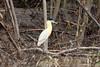 Capped Heron (Pilherodius pileatus) by Sergey Pisarevskiy