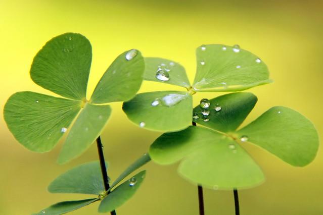 Trèfle à 4 feuilles pour beaucoup de Chance à venir