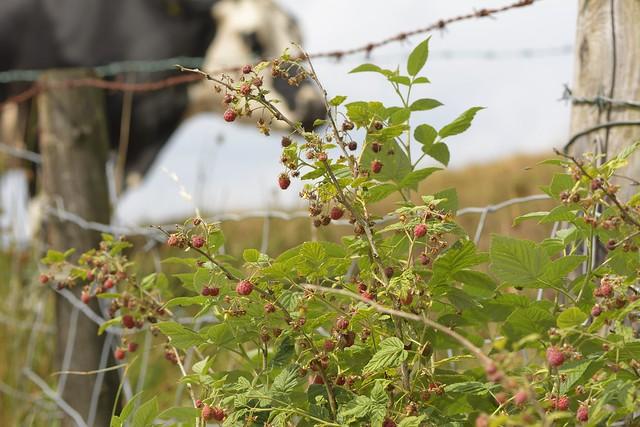WildRaspberries