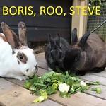 BorisRoo Steve