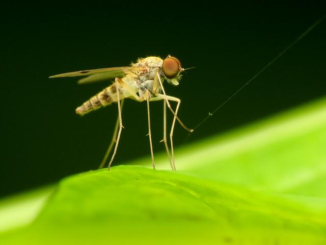 Yellow Snipefly
