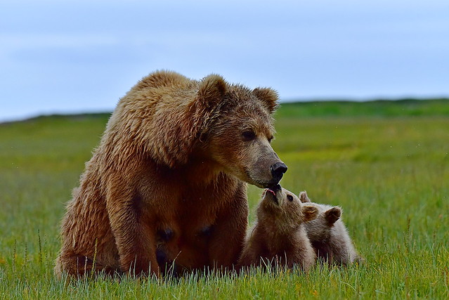 DSC_3995 Bear 6 Alaska 2018