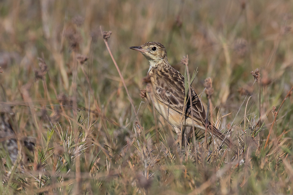 Yellowish Pipit (Anthus lutescens)