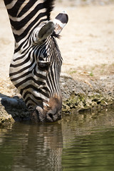 Zebra drinking some water