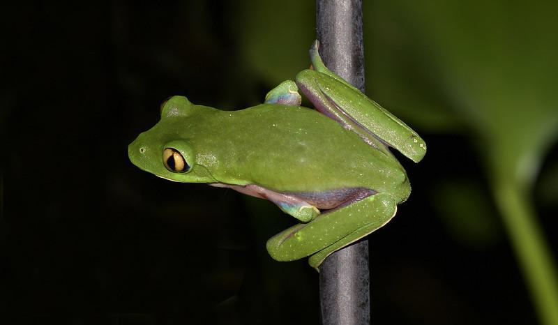 Golden-eyed Tree-frog, Agalychnis annae_199A3290